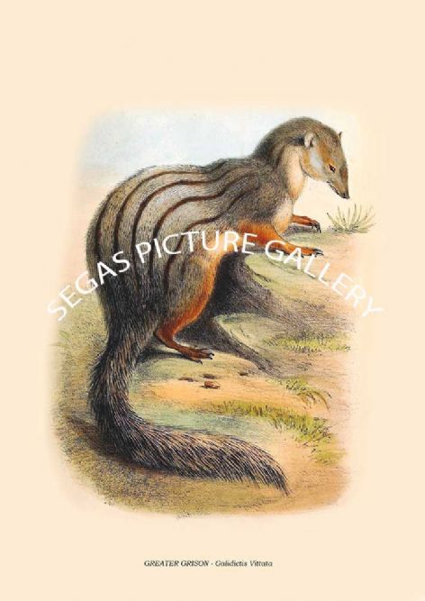 Fine art print of the GREATER GRISON - Galidictis Vittata by Zoological Society of London -Animals 1848-60